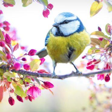 Mese a tavasz-ébresztő kis cinegéről