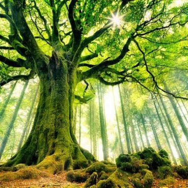 A tölgyfa meséje
